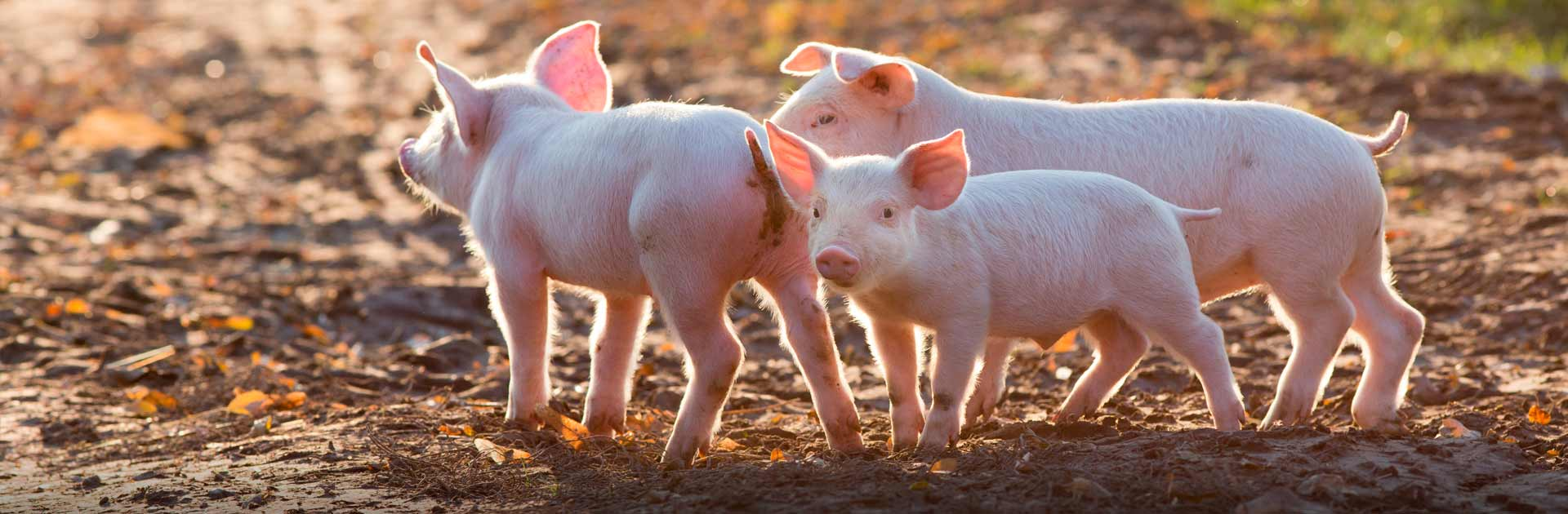 pigfarm Agrotrainee - Ukrainian agro practicants in Europe